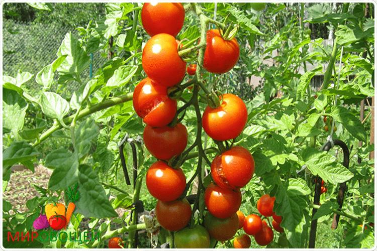 как растут помидоры