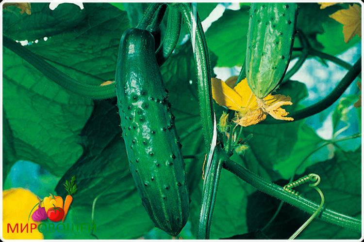 огурцы овощи