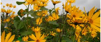 цветки земляной груши