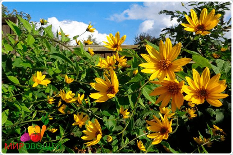 цветёт топинамбур