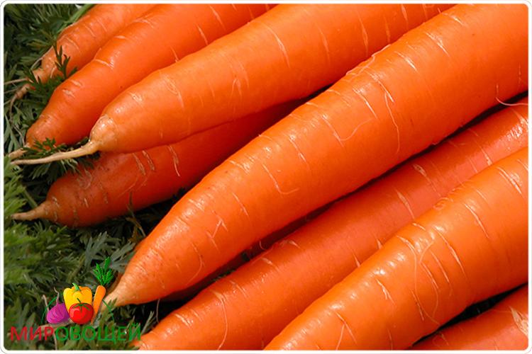 корнеплод моркови