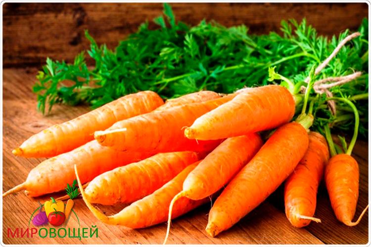 плод моркови